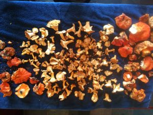 8 pounds of Chanterelles and Lobster mushrooms gathered this morning.