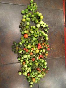 Tomato Harvest Ripe & Unripe
